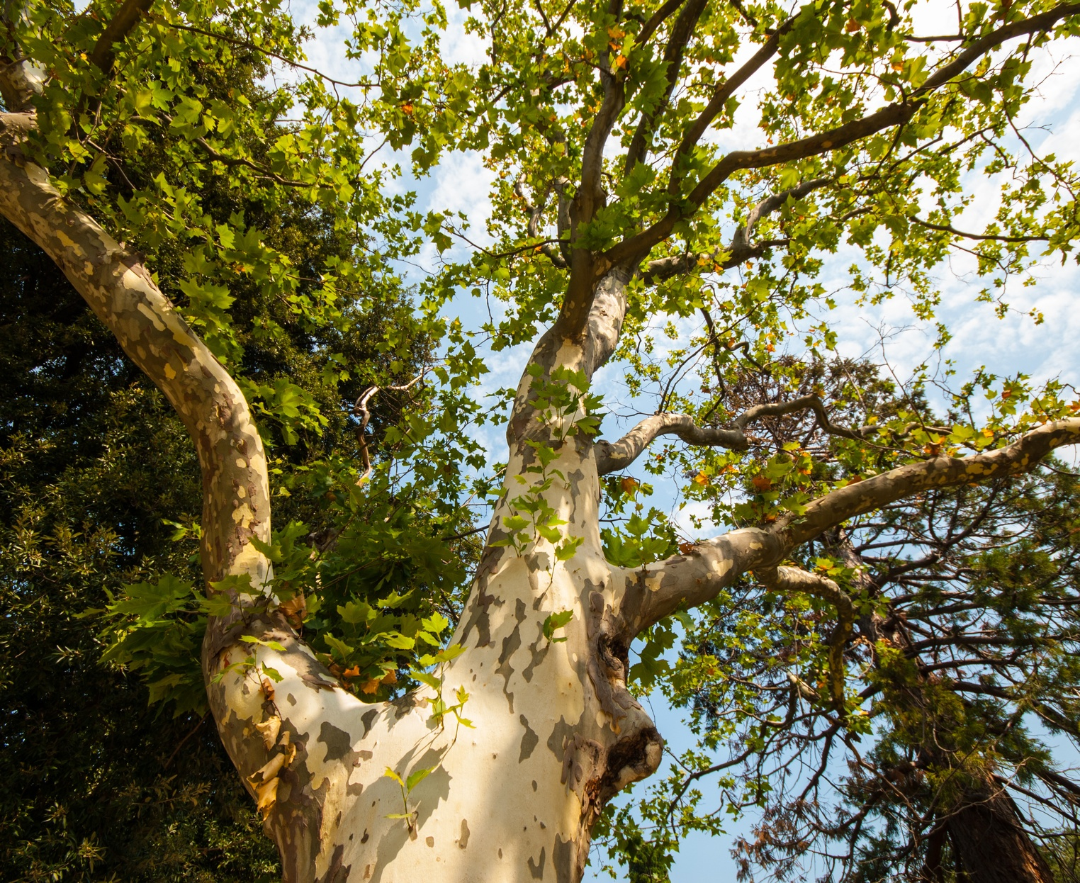 Sycamore trees are notorious for causing damage to underground sewer lines.